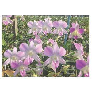 Den 17 Pink Dendrobium Orchid Plant