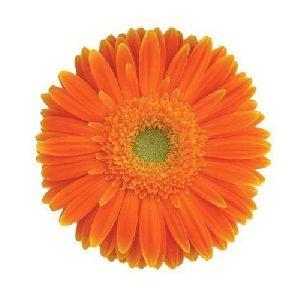 Elite Gerbera Flower