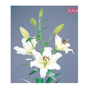 Ercolano LA Lilies Plant