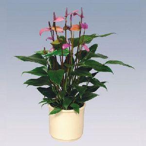 Fiorino Anthurium Plant Pot