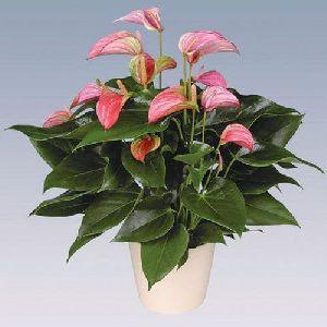 Joli Anthurium Plant Pot