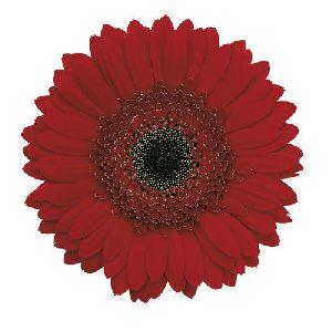 Julia Gerbera Flower