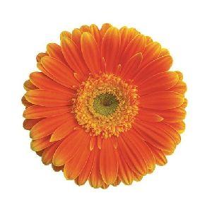 Kyllian Gerbera Flower