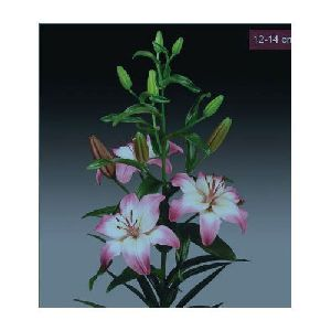 Levi Asiatic Lilies Plant