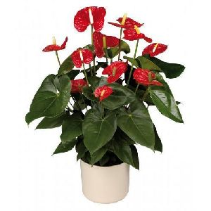 Madural Anthurium Plant Pot