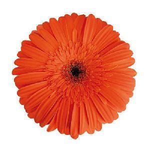Marinilla Gerbera Flower