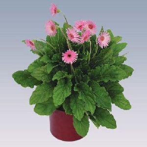 Mini Light Pink Gerbera Plant Pot