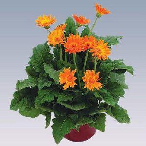 Mini Orange Gerbera Plant Pot
