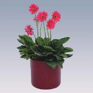 Mini Pink Gerbera Plant Pot
