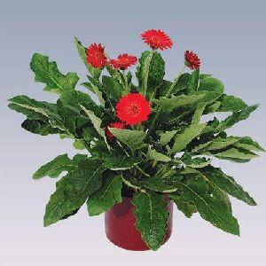Mini Red Gerbera Plant Pot