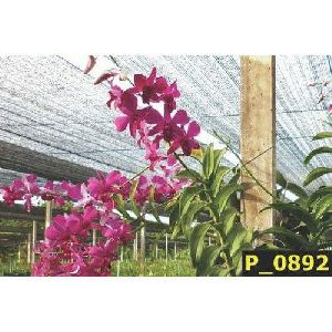 Mona Red Dendrobium Orchid Plant