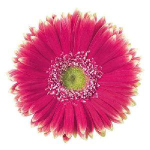Morelia Gerbera Flower