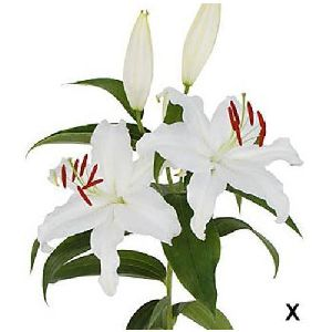 Mother\'s Choice Oriental Lilies Plant