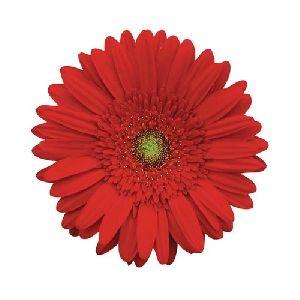 Natasha Gerbera Flower
