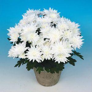 Neves Chrysanthemum Plant Pot