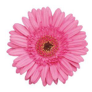 Nigela Gerbera Flower