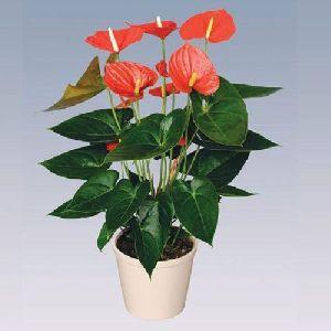 Orange Champion Anthurium Plant Pot