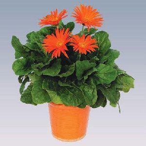 Orange Gerbera Plant Pot