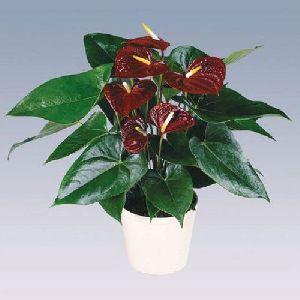 Otazu Anthurium Plant Pot