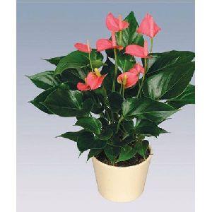 Pink Champion Anthurium Plant Pot