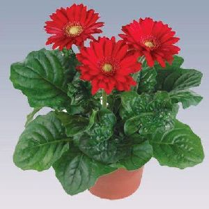 Red Gerbera Plant Pot