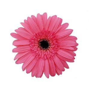 Rionegro Gerbera Flower