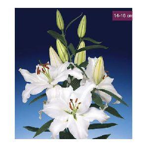 Robin Van Galen Oriental Lilies Plant