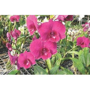 Sakura Pink Dendrobium Orchid Plant