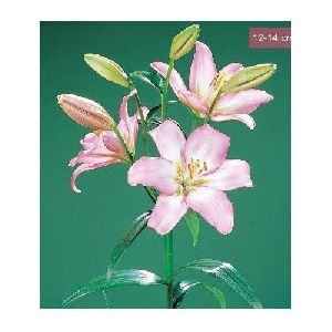 Samur LA Lilies Plant