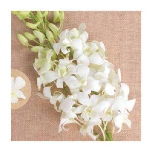 Sanan White Dendrobium Orchid Plant
