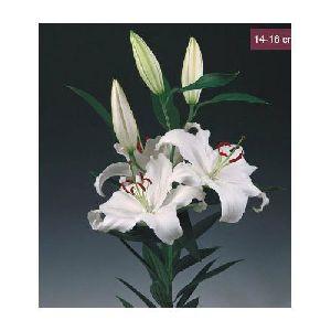 Santander Oriental Lilies Plant