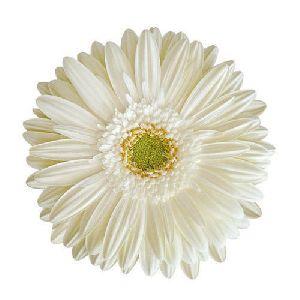 Susan Gerbera Flower