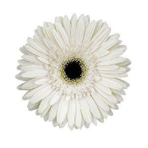 Teresa Gerbera Flower
