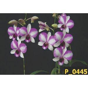 Victoria Dendrobium Orchid Plant