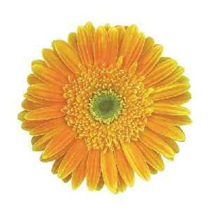 Vilassar Gerbera Flower