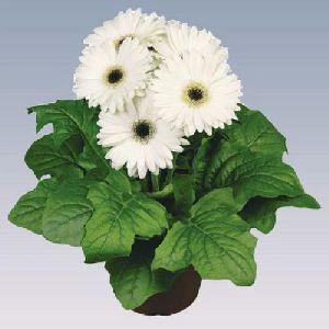 White Gerbera Plant Pot