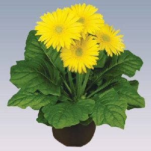 Yellow Gerbera Plant Pot