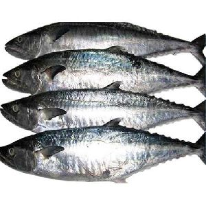 Fresh Surmai Fish