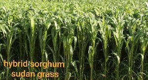 Sorghum Sudan Grass Seeds