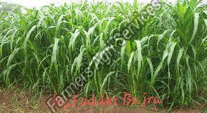 Fodder Bajra Seeds
