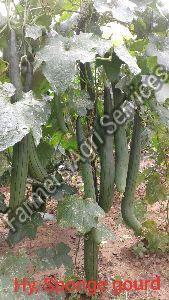 Hybrid Sponge Gourd Seeds