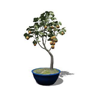 Apricot Plant