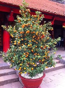 Golden Sweet Apricot Plant