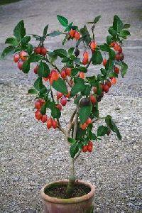 Tamarillo Plant