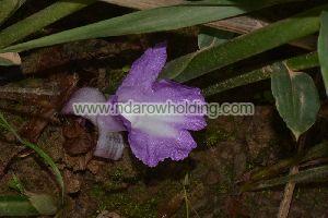 Aframomum Plant