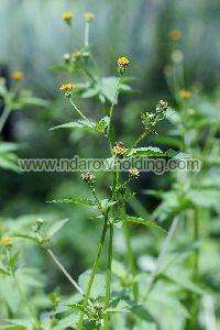 Bidens Pilosa Plant
