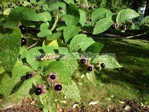 Calabar Bean Plant