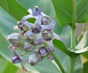 Calotropis Procera Plant