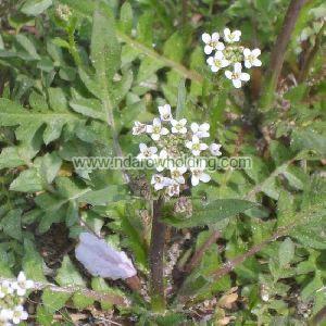 Capsella Bursa-Pastoris Plant