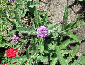 Common Vervain Plant